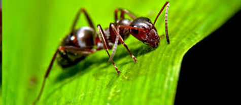 Ants are common throughout the world in many different ecosystems. More than 450 species of ants live in North America. They are also one of the most common pests in human environments and dwellings. In human environments, they build nests in soil, open lawns, under concrete slabs, stones or boards, adjacent to foundation walls, in the walls of houses, in decaying wood, or in cavity spaces associated with debris. Some nests are relatively permanent while others last for a short period of time. Less than 50 species have been known to invade homes across the United States, and only about 10 of these commonly enter homes in Missouri.