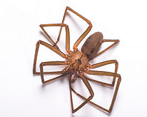 ppma_brown_recluse_spider_488x390.jpg