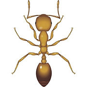 Pharaoh Ant