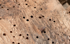 Signs of Woodworm