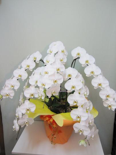 胡蝶蘭-16