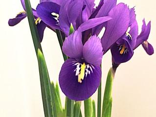 FLOWER FRIDAY ~ IRIS