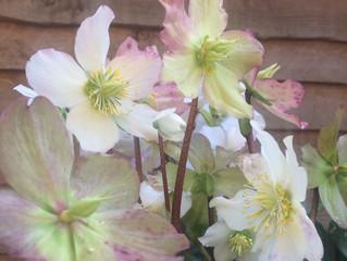 FLOWER FRIDAY ~ HELLEBORUS