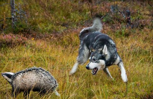 Jakthund och grävling