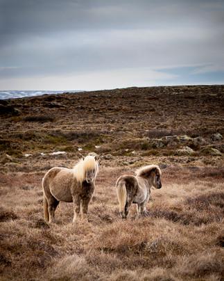 Islandshästar, Island