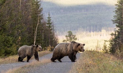 Björnhona med unge