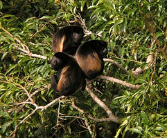 howler monkey sm.jpg