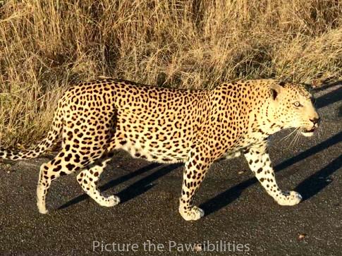 Leopard-Kruger National Park