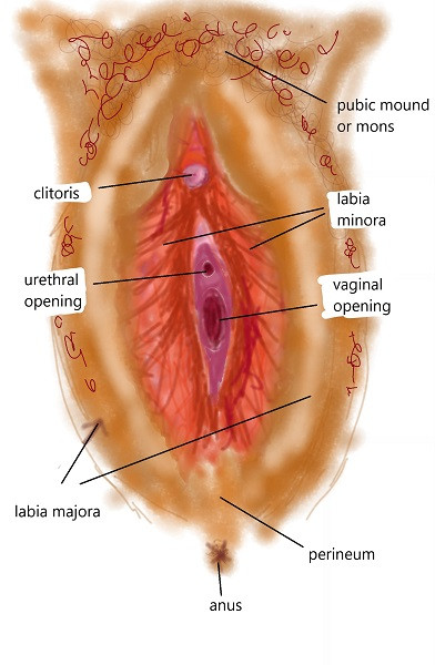 an illustration with labels to show pubic mound, outer labia, inner labia, clitoris, urethral opening, vaginal opening, perineum and anus for Know your Vulva blog