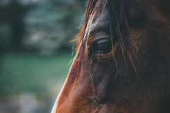 animal-close-up-equine-1411709_edited.jpg