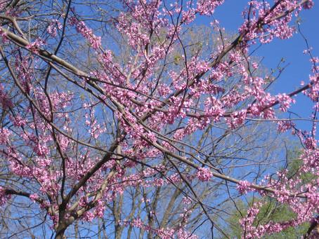 Redbuds, dogwoods, lilacs