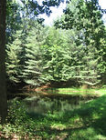 image of pine trees reflected in pond