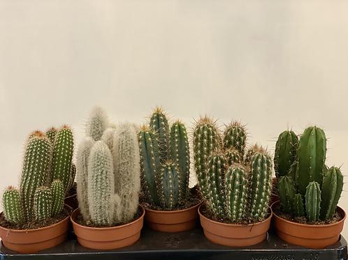Cactus Zuilen