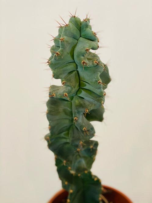 Cereus Spirales