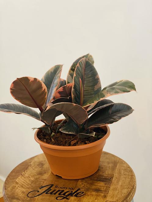 Ficus Belize Pot