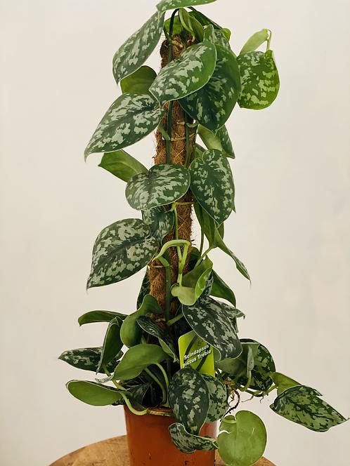 Scindapsus Pictus on Moss Pole