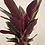 Thumbnail: Stromanthe Magic Star