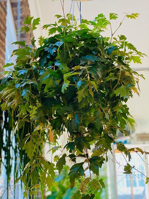 Cissus Rombifolia