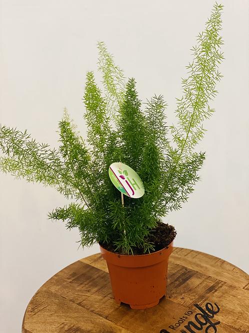 Asparagus Myersii