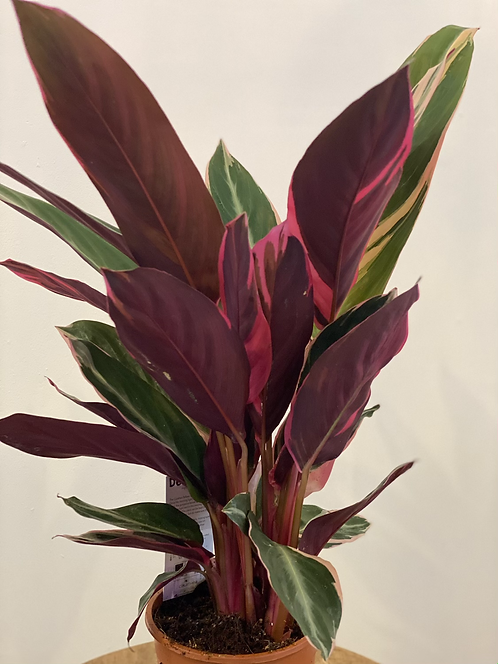 Calathea Stromanthe