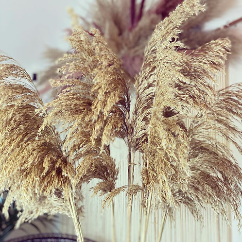 Pampas Natural Gold Dried 120cm