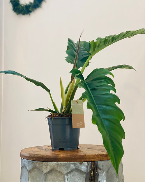 Philodendron Narrow Escape