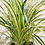 Thumbnail: Spider Plant