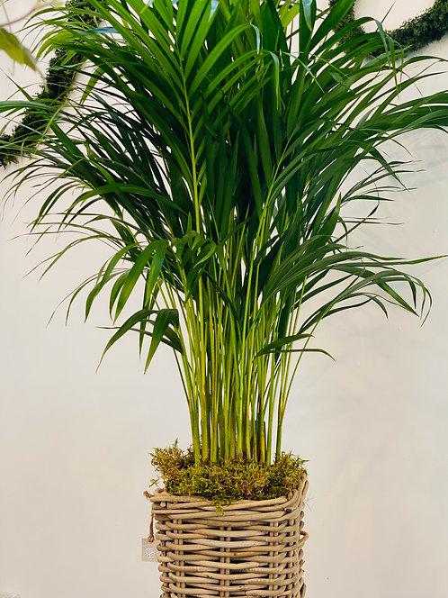 Areca Palm + Basket Pot