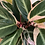 Thumbnail: Calathea Stromanthe