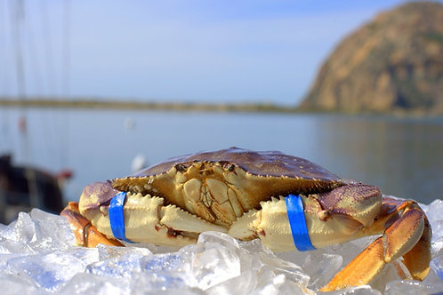Dungeness Crab (Live)