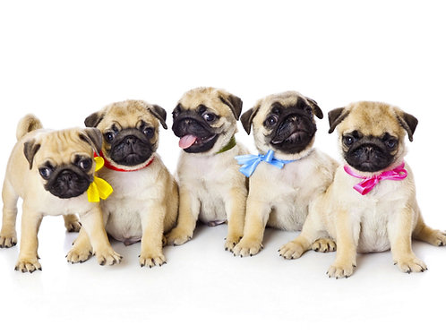 Pug Puppies Note Cards