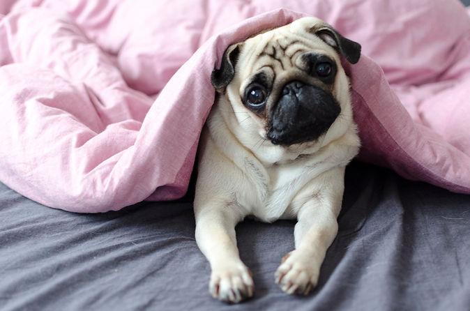 dog-breed-pug-under-the-pink-blanket-897