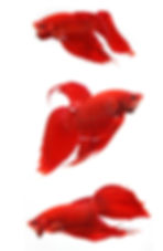 Fighting fish red - Coaching