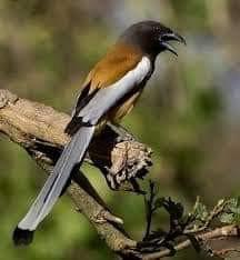 चोर पक्षी महालत (हिन्दी) - Roofus Treepie Bird