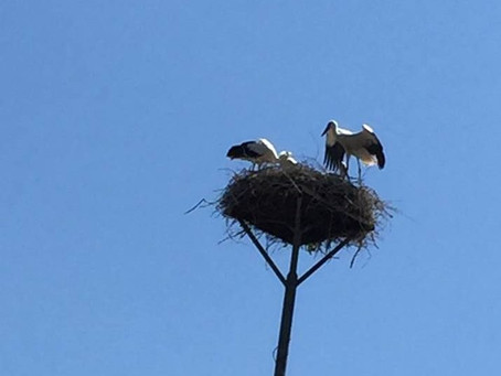 Kontrola čapího hnízda