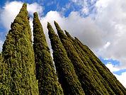 1. Tall Trees.jpg