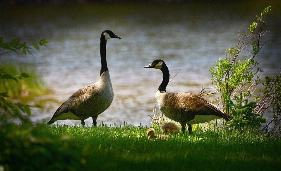 geese-5302924_960_720.jpg