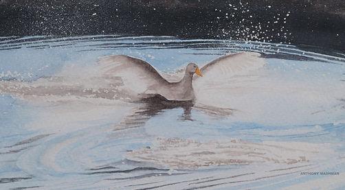 Goose In The River Nene
