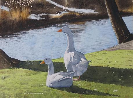 Geese In Winter Beside the River Nene