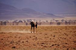 Koiimasis wild horse