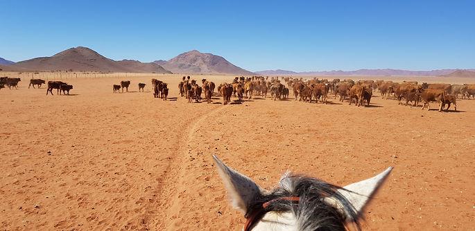 Koiimasis Cattledrive