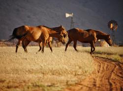 Wild mares on Ranch Koiimasis