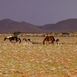 Horses and Oryx