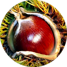 Organic Chestnut Extract
