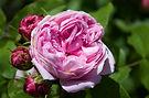 Organic Damask Rose Extract