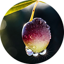 Estratto Biologico di Olivo