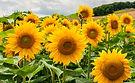Organic Sunflower Extract