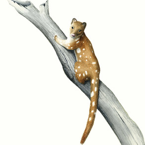 Quoll In A Tree
