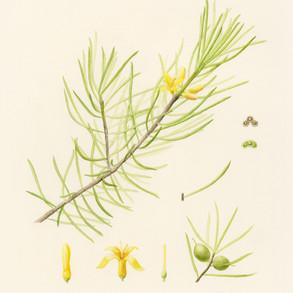 Persoonia pauciflora