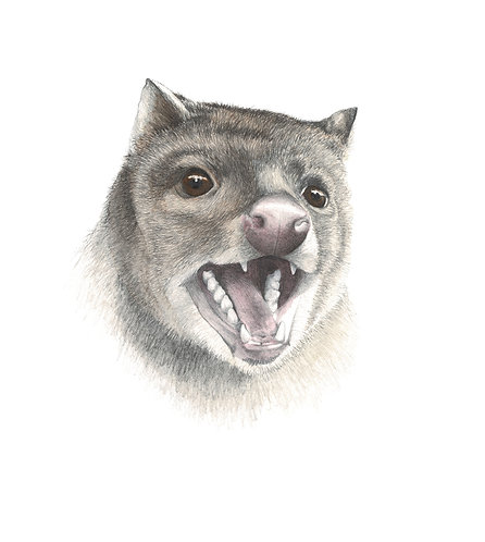 Spotted tail quoll portrait